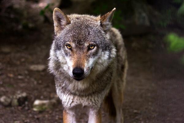Животные Сербии с фото и описанием - Серый волк