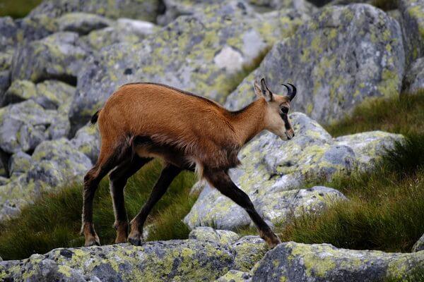Животные Сербии с фото и описанием - Балканская серна