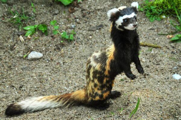 Животные Сербии с фото и описанием - Перевязка или перегузна