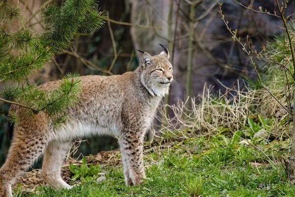 Животные Сербии с фото и описанием - Обыкновенная рысь