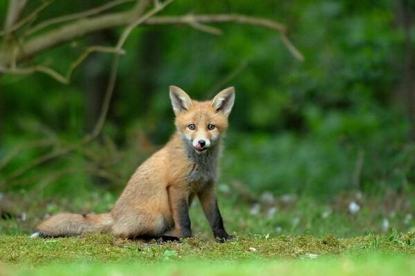 Животные Сербии с фото и описанием - Обыкновенная лисица