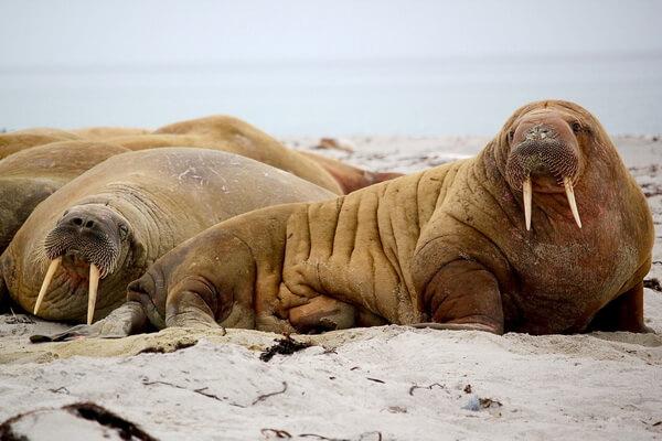 Животные Северного Ледовитого океана с фото и описанием - Моржи