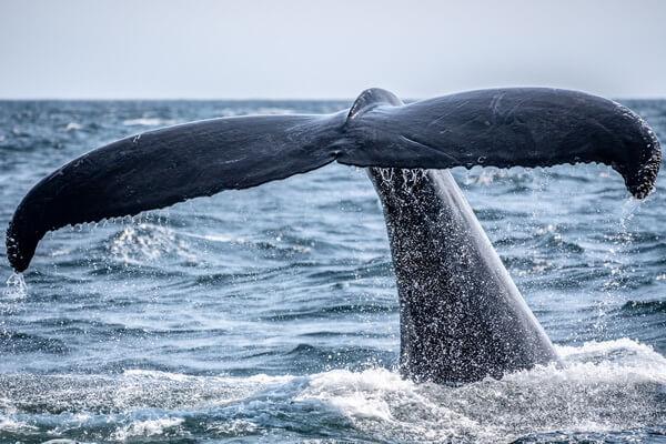 Животные Северного Ледовитого океана с фото и описанием - Гренландские киты