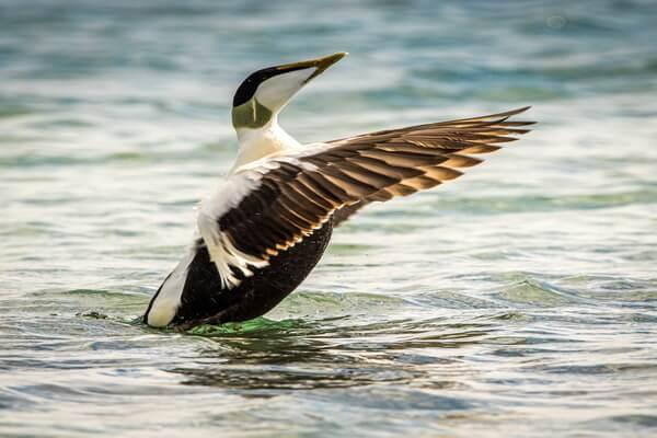 Животные Северного Ледовитого океана с фото и описанием - Гага обыкновенная