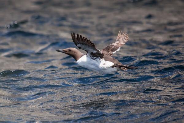 Животные Северного Ледовитого океана с фото и описанием - Кайра