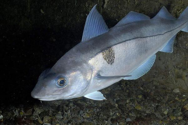 Животные Северного Ледовитого океана с фото и описанием - Рыба пикша