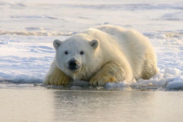Животные Северного Ледовитого океана с фото и описанием - Белый медведь