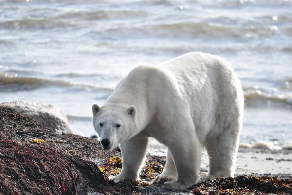 Животные Северного Ледовитого океана с фото и описанием - Белый или полярный медведь