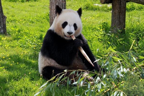 Национальные животные Китая - Большая панда
