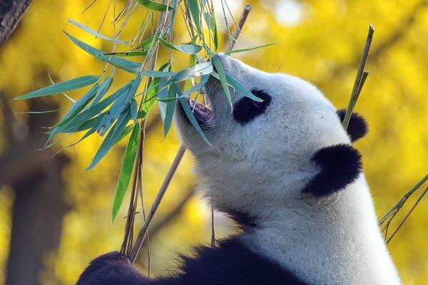 Животные-символы Китая - Большая панда или бамбуковый медведь