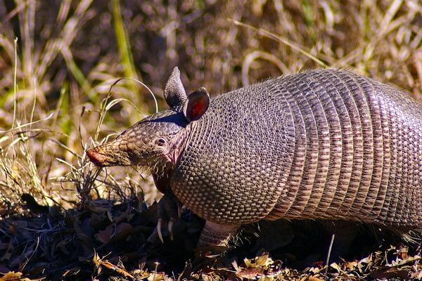 Животные Техаса с фото и описанием - Девятипоясной броненосец