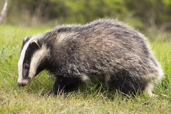 Животные Техаса с фото и описанием - Барсук