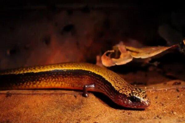 Животные Техаса с фото и описанием - Короткополосый сцинк