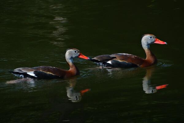 Животные Техаса с фото и описанием - Чернобрюхая свистящая или осенняя древесная утка