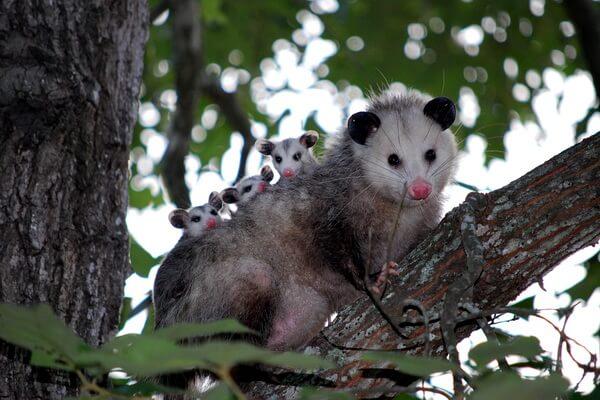 Животные Техаса с фото и описанием - Виргинский опоссум