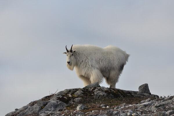Животные тундры с фото и описанием - Снежная коза