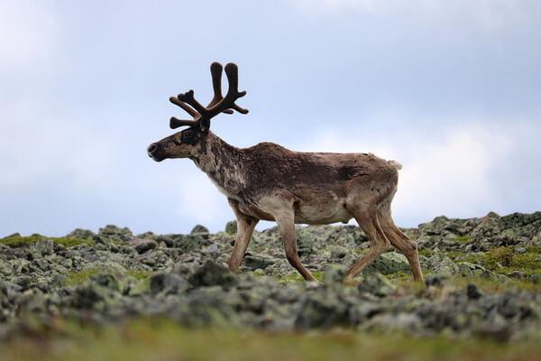 Животные тундры с фото и описанием - Карибу или северный олень