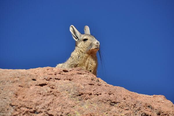 Животные тундры с фото и описанием - Шиншиллы