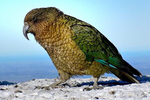 Животные тундры с фото и описанием - Попугай кеа