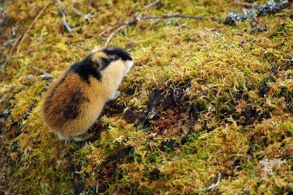 Животные тундры с фото и описанием - Лемминг