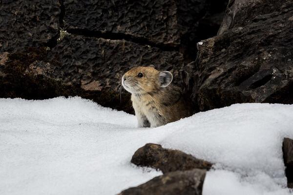 Животные тундры с фото и описанием - Пищухи или сеноставки