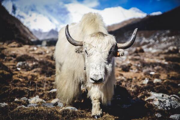 Животные тундры с фото и описанием - Як
