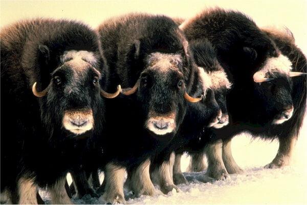 Животные тундры с фото и описанием - Овцебык или мускусный бык