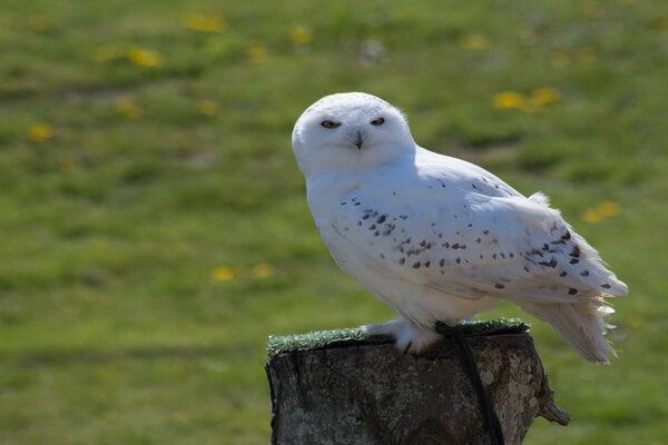 Животные тундры с фото и описанием - Белая или полярная сова