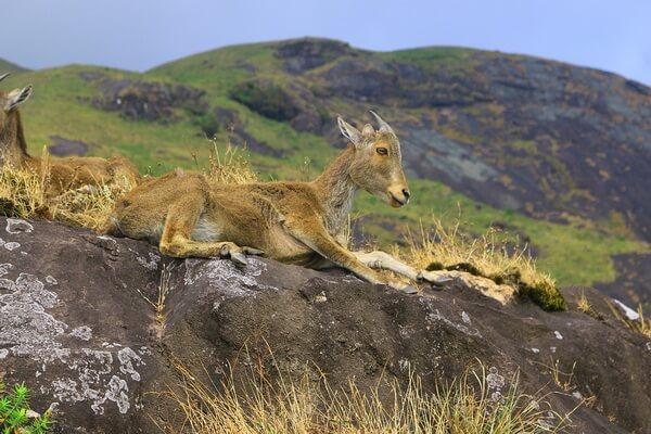 Животные тундры с фото и описанием - Гималайский тар