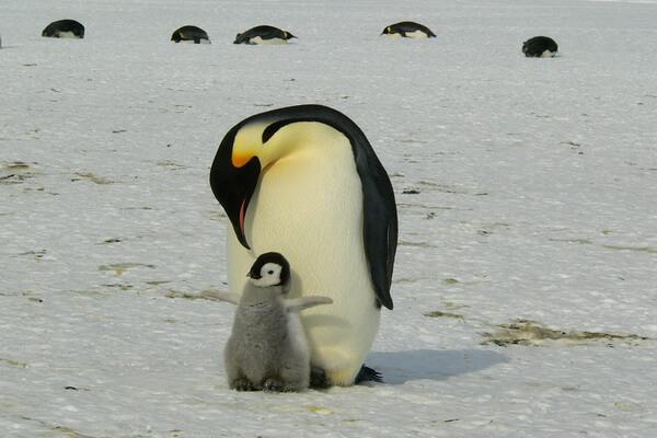 Животные тундры с фото и описанием - Антарктические виды пингвинов
