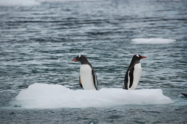Животные тундры с фото и описанием - Антарктические пингвины