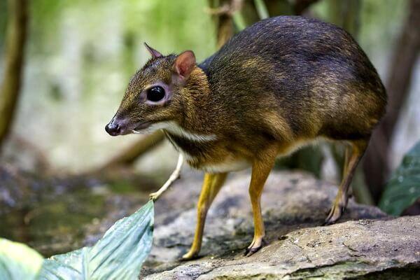 Животные Турции с фото и описанием - Оленьковые (мышиный олень)