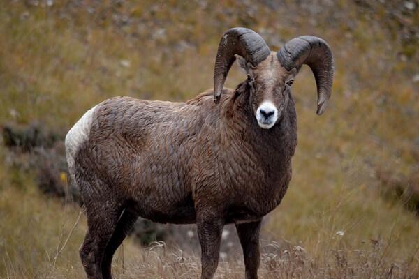 Животные Турции с фото и описанием - Архар или горный баран (аргали)