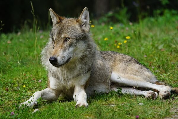 Животные Турции с фото и описанием - Серый волк