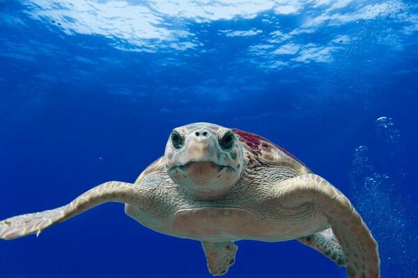 Животные Турции с фото и описанием - Логгерхед, головастая черепаха или каретта