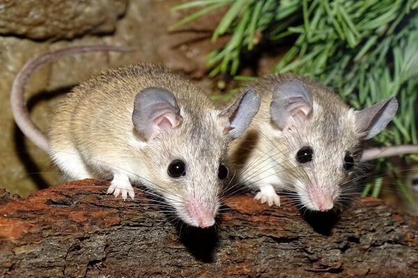 Животные Турции с фото и описанием - Малоазиатская иглистая мышь